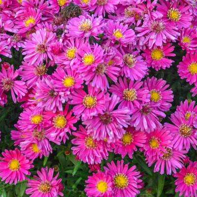 2 in. Pot Carmine Red Kickin Aster Live Deciduous Plant Red and Pink Flowering Perennial (1-Pack)