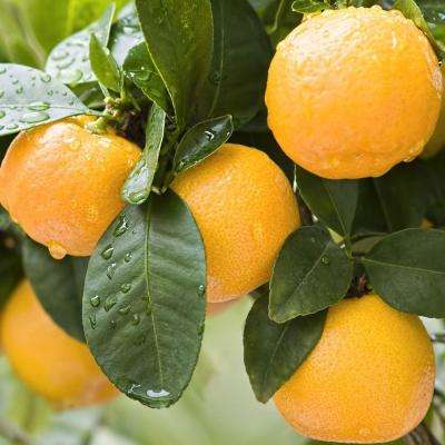 32 in. Tall 1-Year Old Citrus Fina Sodea Clementine Orange Tree