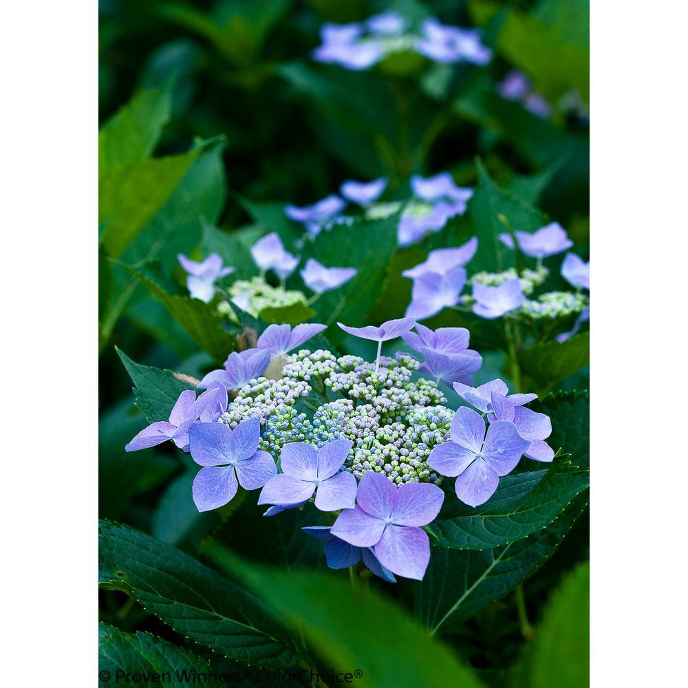 1 Gal. Let's Dance Starlight Bigleaf Hydrangea (Macrophylla) Live Shrub, Blue or Pink Flowers