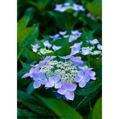 4.5 in. qt. Let's Dance Starlight Bigleaf Hydrangea (Macrophylla) Live Shrub, Blue or Pink Flowers