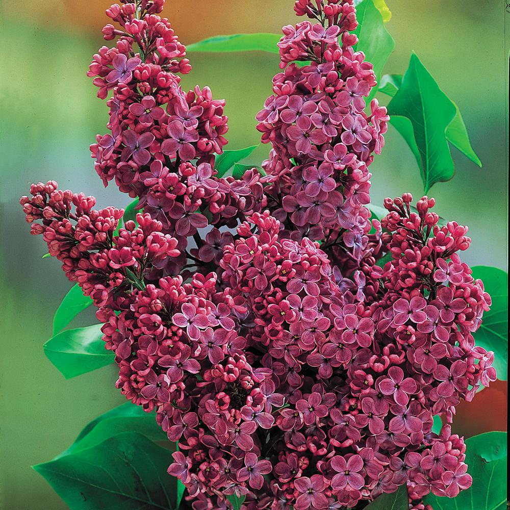 Pot Charles Joly Lilac Syringa Live Deciduous