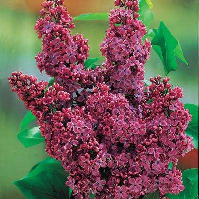 4 in. Pot Charles Joly Lilac (Syringa), Live Deciduous Plant, Red Flowers on Green Foliage (1-Pack)