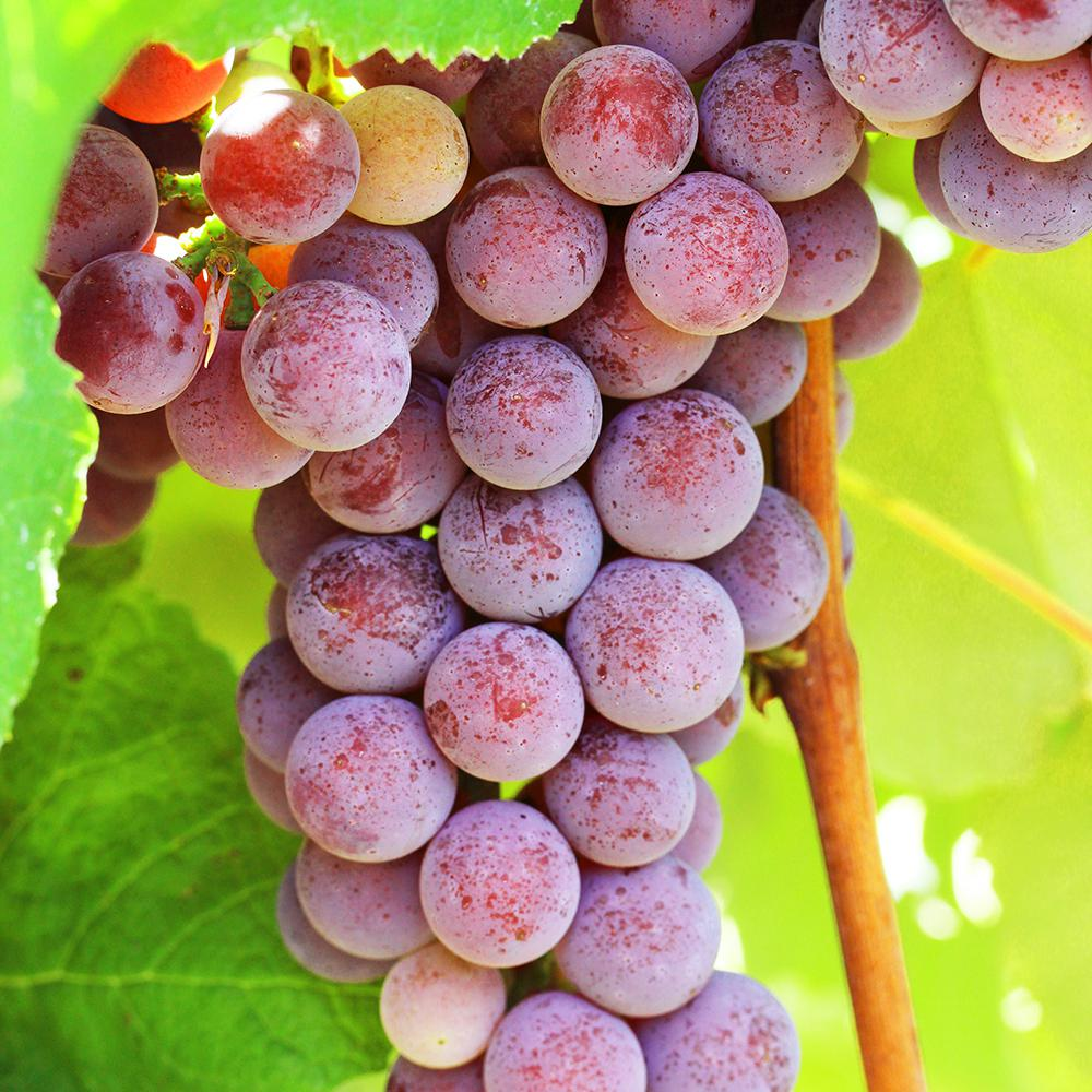 Catawba Grape Dormant Plant