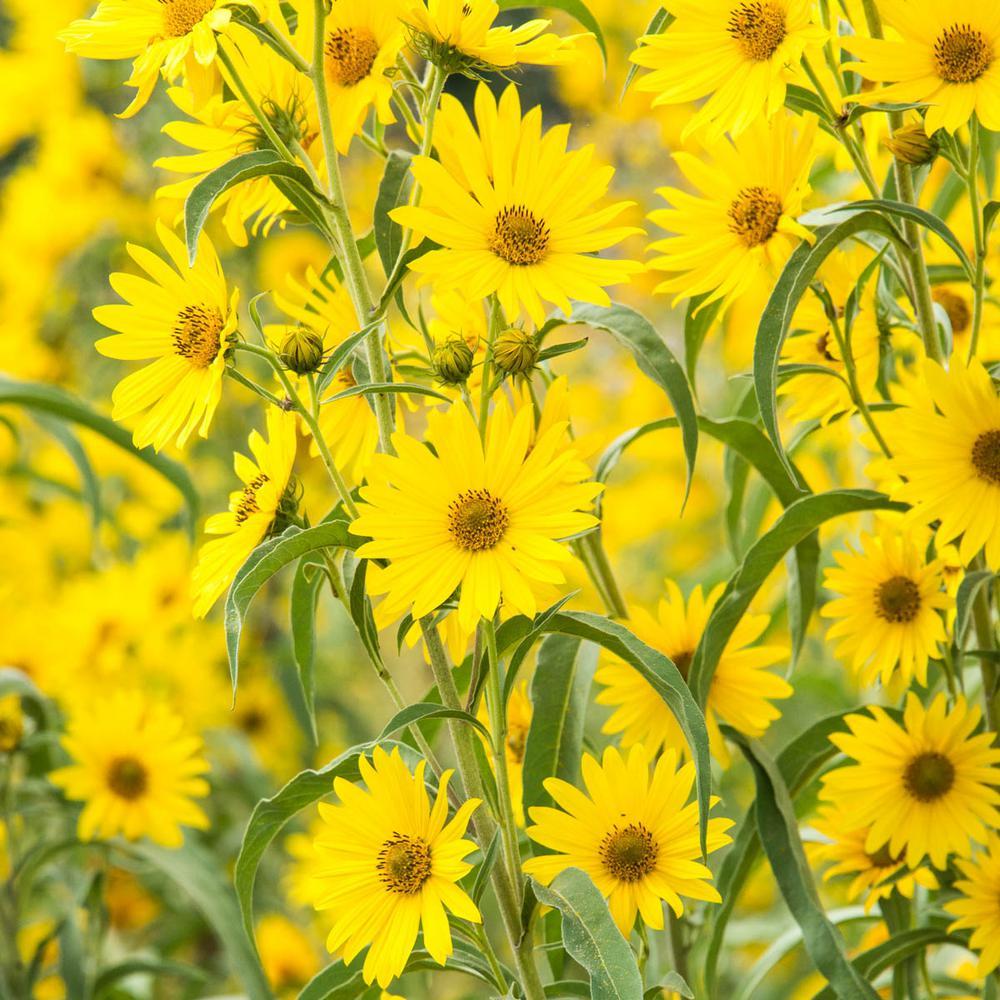 Maximillian Sunflower (Helianthus), Live Bareroot Deciduous Plants, Yellow Flowering Perennial (3-Pack)