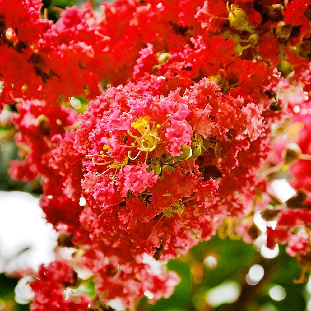 1 Gal. Southern Living Miss Frances Crape Myrtle Tree