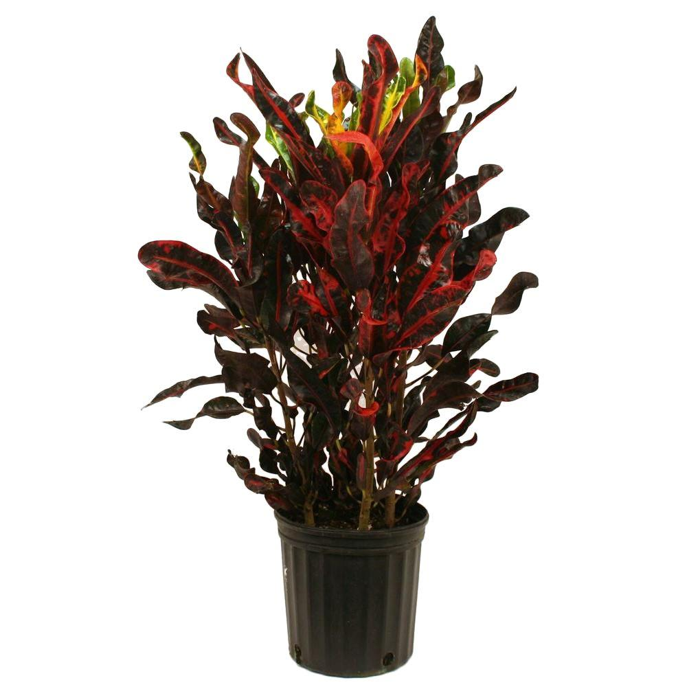 Costa Farms Croton Mammey Red in 8.75 in. Grower Pot