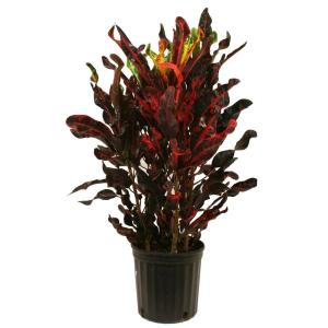 delray plants croton mammey red in 875 in grower pot 10crotonmammey the home depot - Red Flowering House Plants