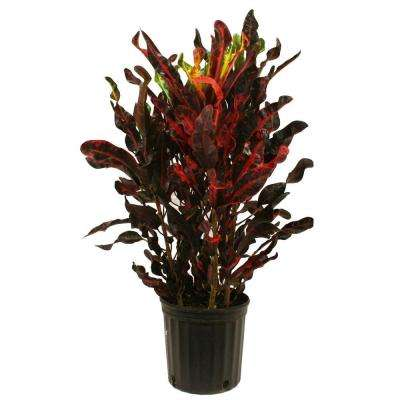 croton mammey red in 875 in grower pot - Red Flowering House Plants