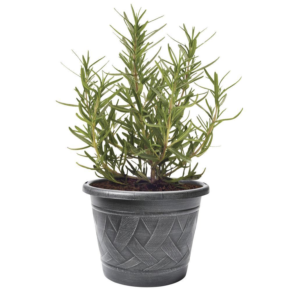 2.32 qt. Lavender (Live Plant)