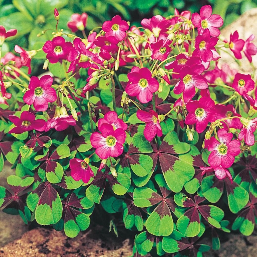 Breck's Iron Cross Good Luck Plant (Oxalis) Variegated Foliage with Pink  Flower Bulbs (15-Pack)