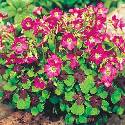 Iron Cross Good Luck Plant (Oxalis) Variegated Foliage with Pink Flower Bulbs (15-Pack)