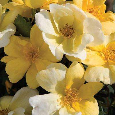 3 Gal. Sunny Knock Out Rose - Yellow Blooming Shrub