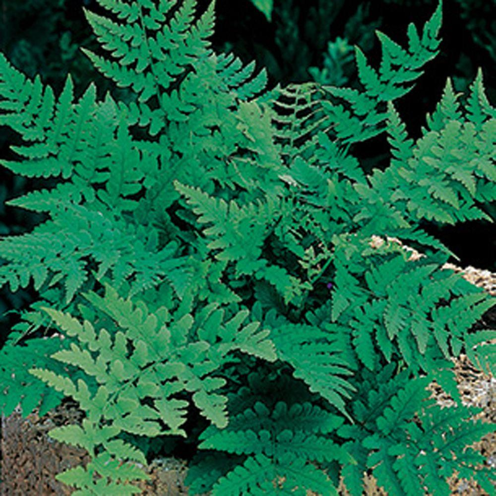 null Fern Leatherwood Bare Root Dormant Plants (4-Pack )