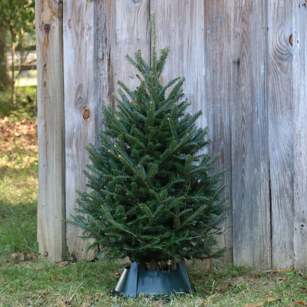 Cottage Farms Direct 3.5 ft. to 4 ft. Freshly Cut Table Top Fraser Fir Christmas Tree with Stand