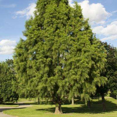 2.25 Gal. Deciduous Bald Cypress Tree