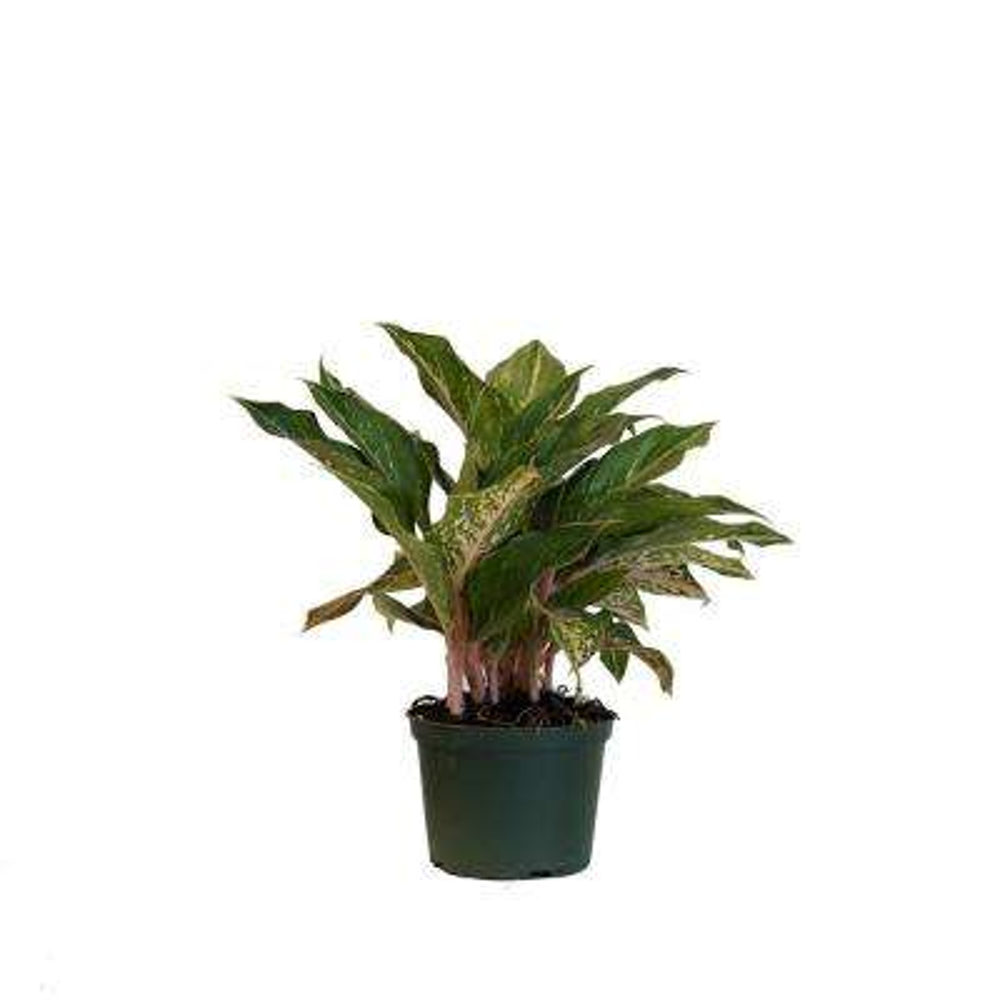 Aglaonema Sparkling Sarah Live Indoor Outdoor Houseplant in Grower Pot 12 in. - 17 in. Tall