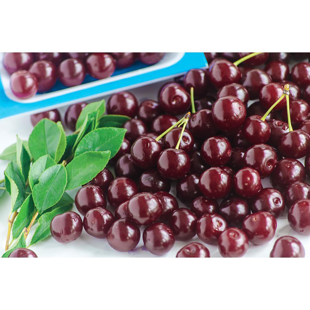Romeo Dwarf Bush Cherry (Prunus) Live Bareroot Plant Dwarf Fruit Tree