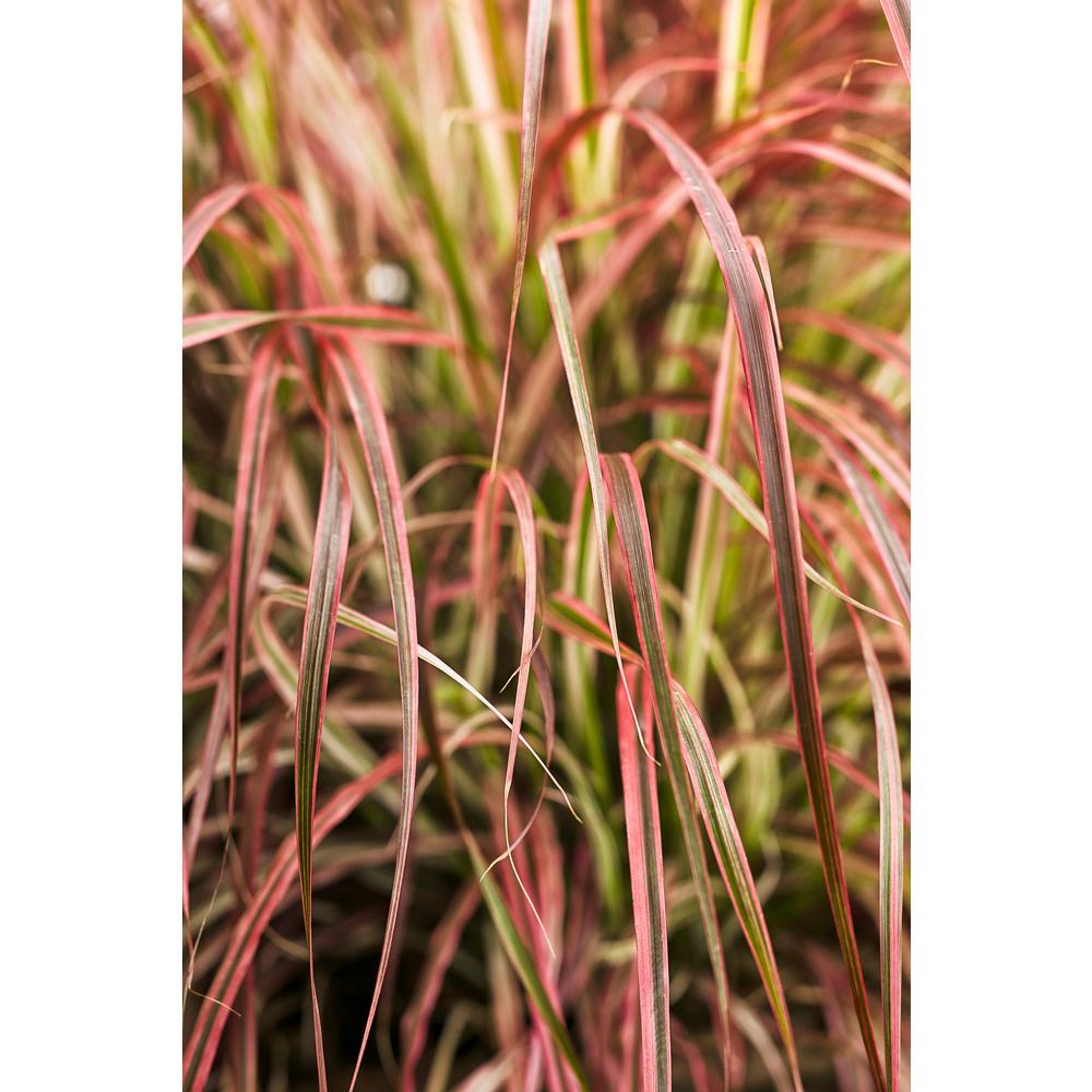 Graceful Gres Fireworks Variegated Red Fountain Gr Pennisetum Live Plant Green And Pink