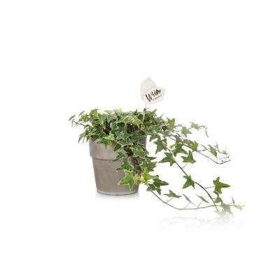 Wild Interiors 5 in. Ivy in Terra Cotta Pot