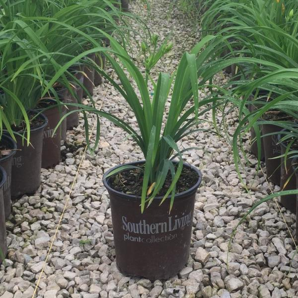 Southern Living Plant Collection 2 5 Qt Evergreen Stella Golden Yellow Live Perennial Daylily Plant Fragrant And Trumpet Shaped Flowers 2499q The Home Depot