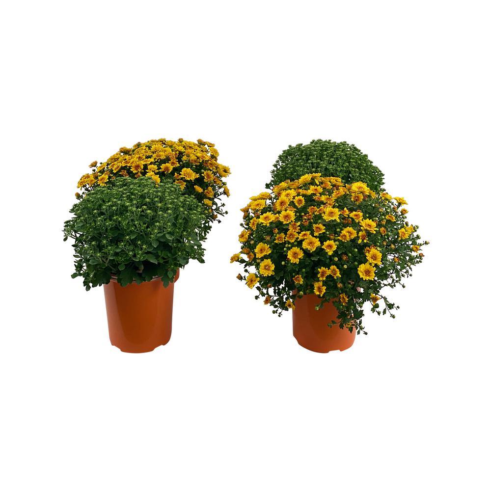 2.5 Qt. Mum Chrysanthemum Plant Orange Flowers in 6.33 In. Grower's Pot (4-Plants)
