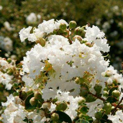 2 Gal. Early Bird White Crape Myrtle, Live Blooming Dwarf Deciduous Shrub