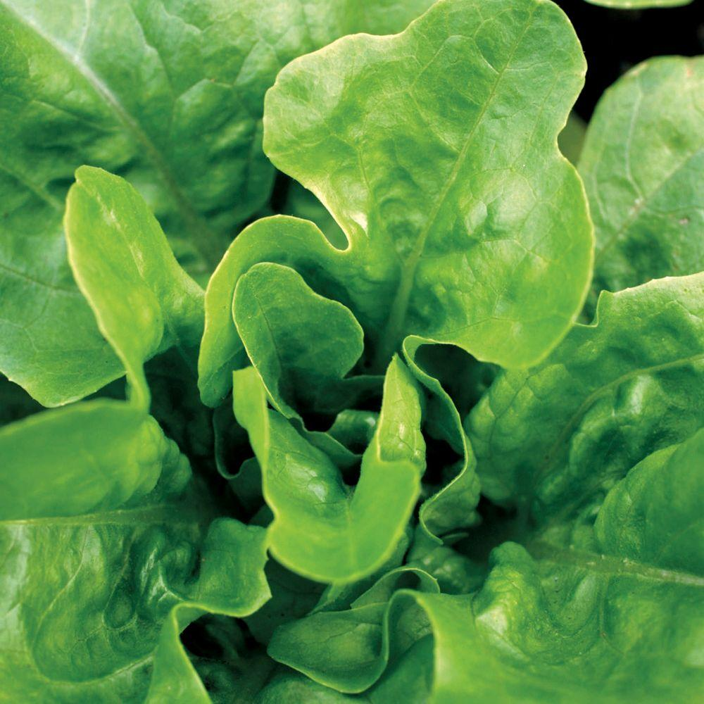 Lettuce, Looseleaf, Emerald Oak Seeds