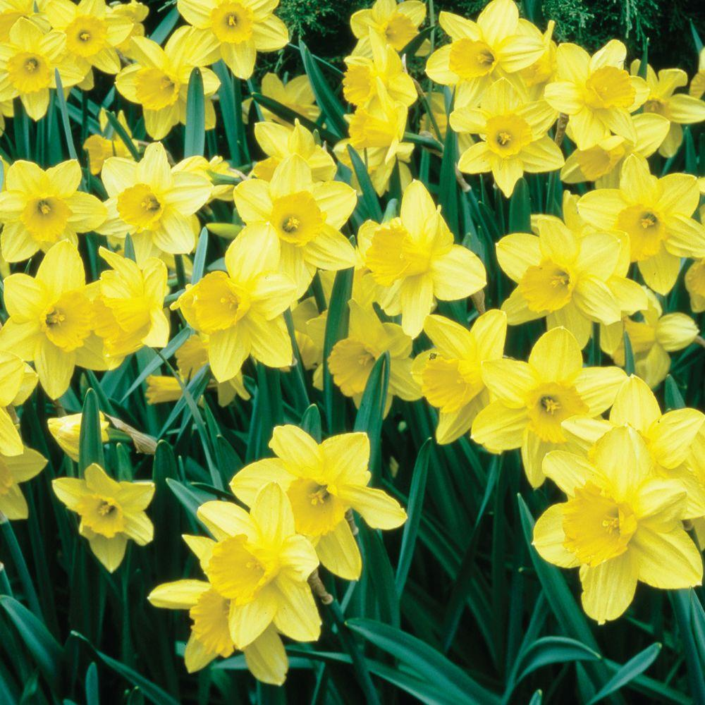 Martha Stewart Living Narcissus Unsurpassable Dormant Bulbs (50-Pack)-DISCONTINUED