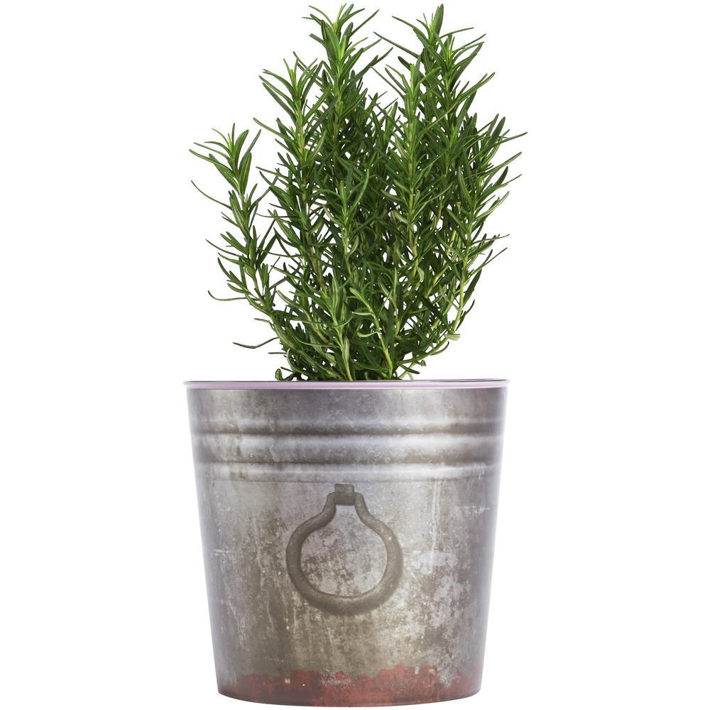 1 gal. Rosemary Plant