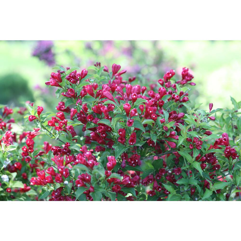Proven Winners 4.5 in. qt. Sonic Bloom Red Reblooming Weigela (Florida) Live Shrub, Red Flowers Sonic Bloom Red Weigela from Proven Winners flowers in May and then produces waves of reblooms until frost. The lipstick-red flowers add season-long drama to gardens and also attract hummingbirds. Weigela are beautiful landscape plants.