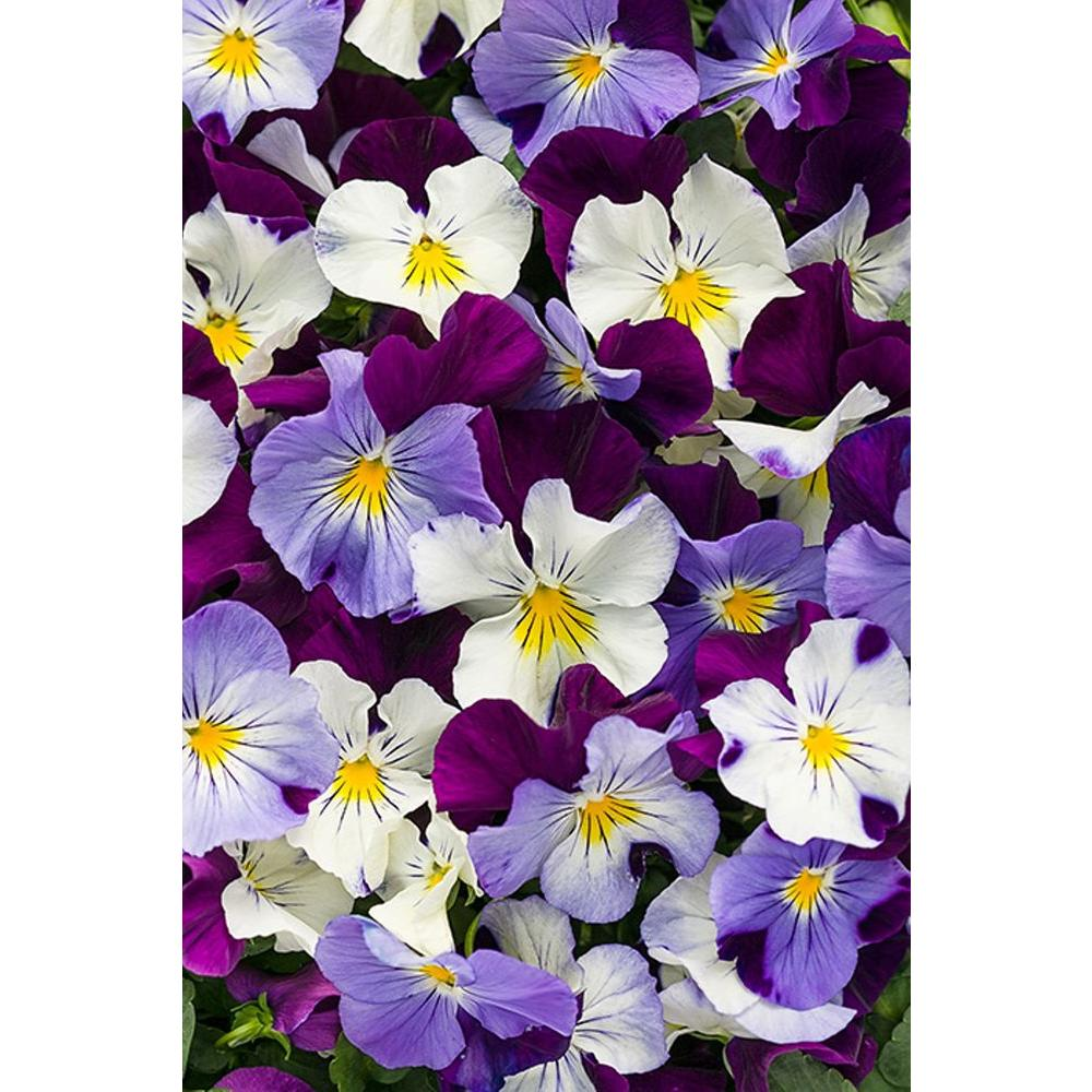 Anytime Sugarplum Pansiola (Viola) Live Plant, Purple, White, and Yellow