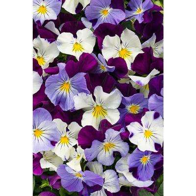 Anytime Sugarplum Pansiola (Viola) Live Plant, Purple, White, and Yellow Flowers, 4.25 in. Grande, 4-pack