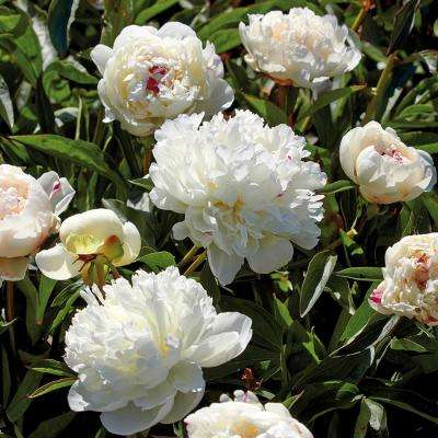 Peony white garden plants flowers garden center the home depot peonies bulbs festiva maxima set of 6 roots mightylinksfo