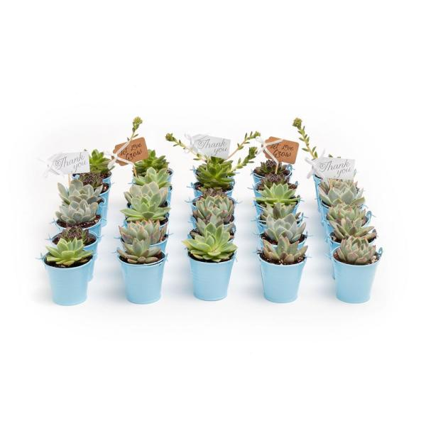 2 in. Wedding Event Rosette Succulents Plant with Blue Metal Pails and Thank You Tags (60-Pack)