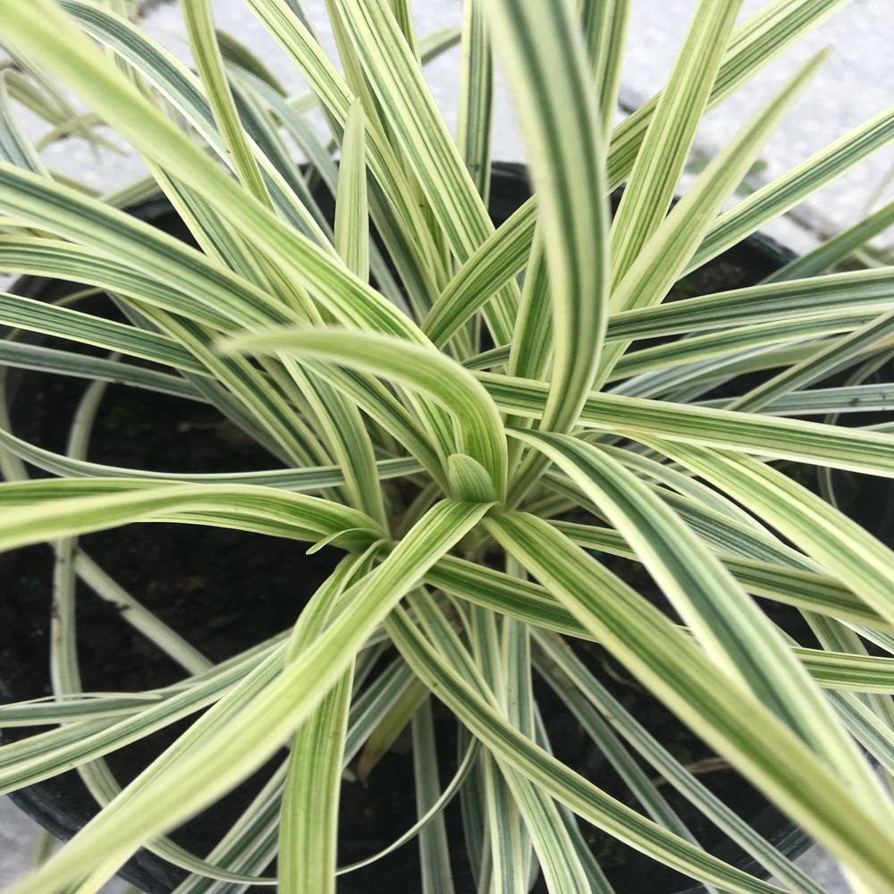 1 Gal Aztec Variegated Liriope Grass L524g1 The Home Depot