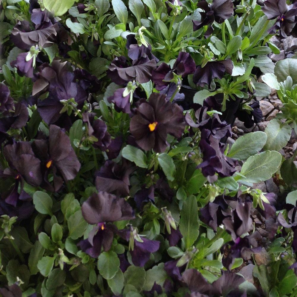 OnlinePlantCenter 1 gal. Blackout Violet or Mountain Pansy Plant
