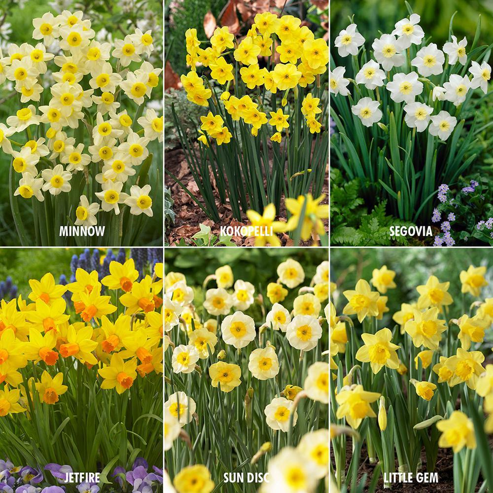 Award Winning Perennial Deer Resistant Daffodil Blend (Set of 30)