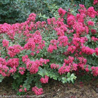Flowering shrub crape myrtle 11 40 to 50 f shrubs trees infinitini magenta crapemyrtle lagerstroemia live shrub pink flowers mightylinksfo