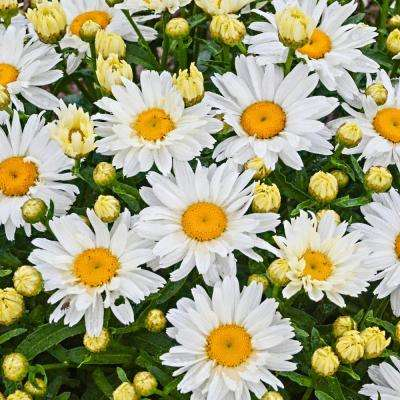 2 in. Pot White Flowers Cream Puff Shasta Daisy (Leucanthemum) Live Potted Perennial Plant (1-Pack)
