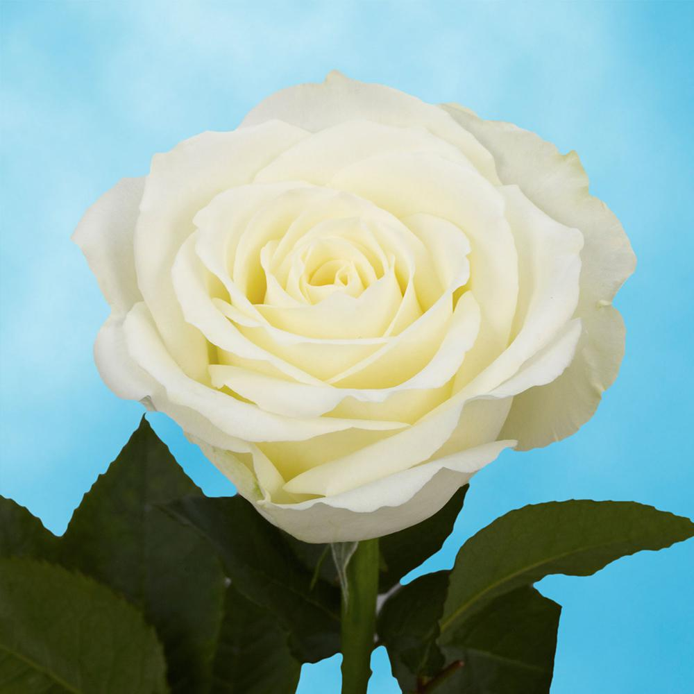 Globalrose 100 White Roses Fresh Flower Delivery White Roses