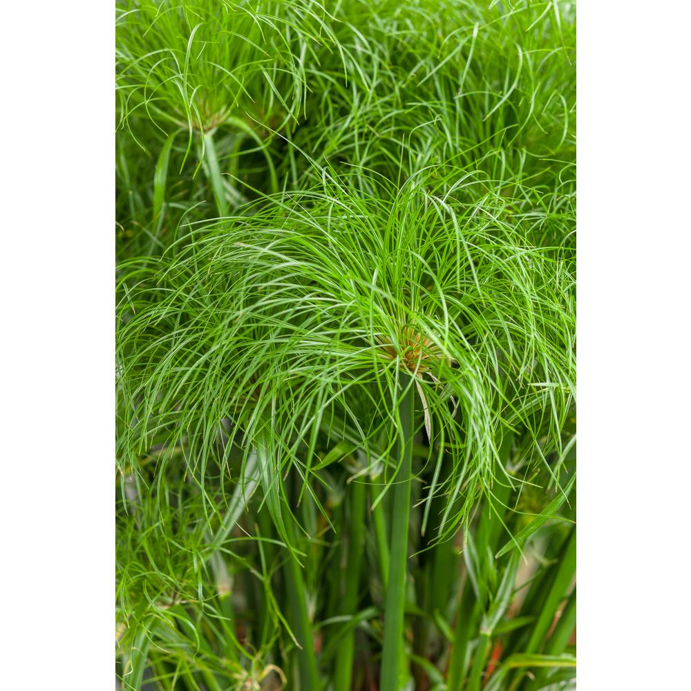 4.5 in. Qt. Graceful Grasses Prince Tut Dwarf Egyptian Papyrus (Cyperus) Live