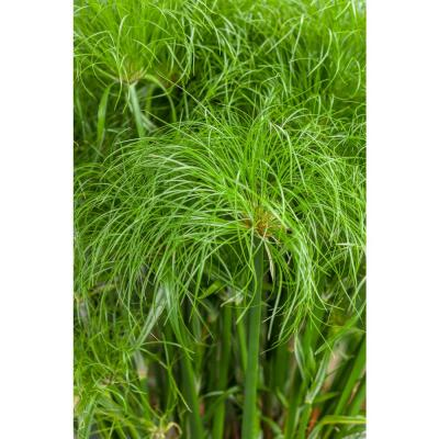 4.5 in. Qt. Graceful Grasses Prince Tut Dwarf Egyptian Papyrus (Cyperus) Live Plant, Bright Green Foliage