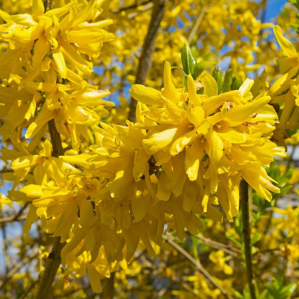Forsythia Shrubs Bushes Plants Garden Flowers The Home Depot