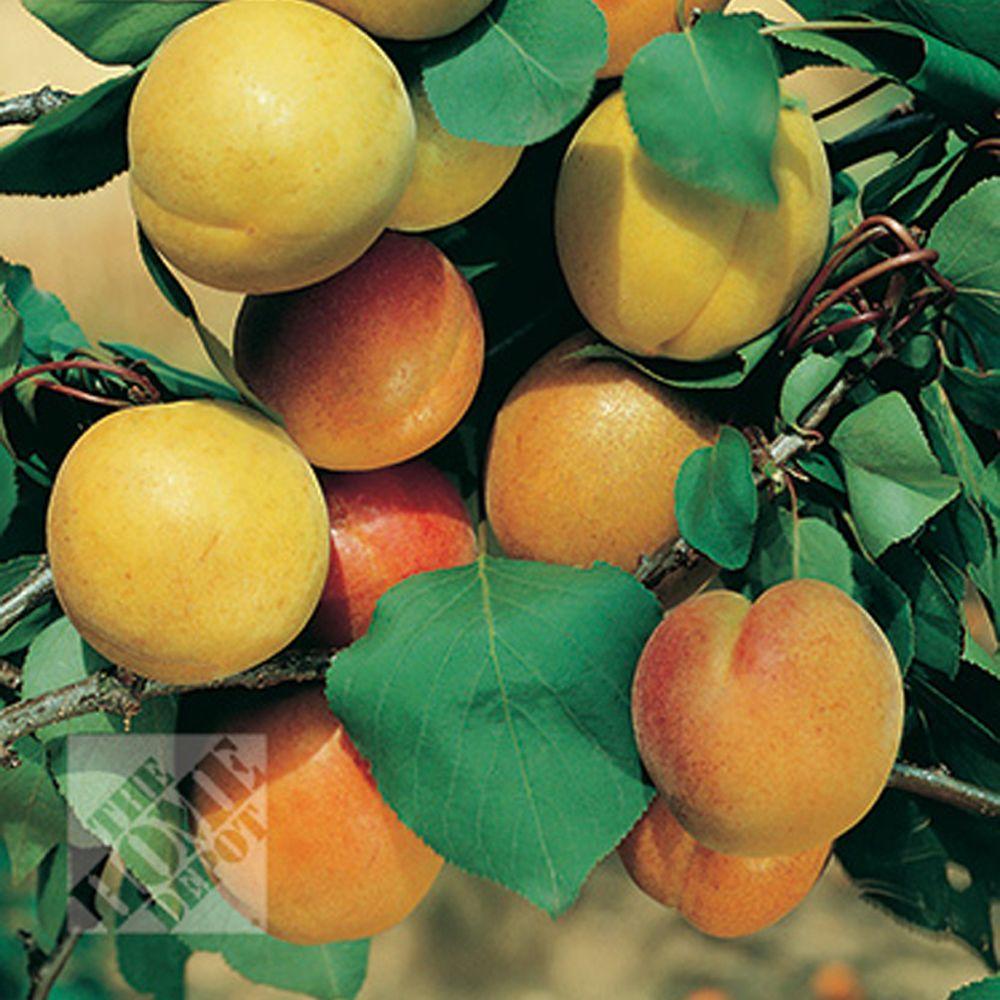 null Moorpark Apricot
