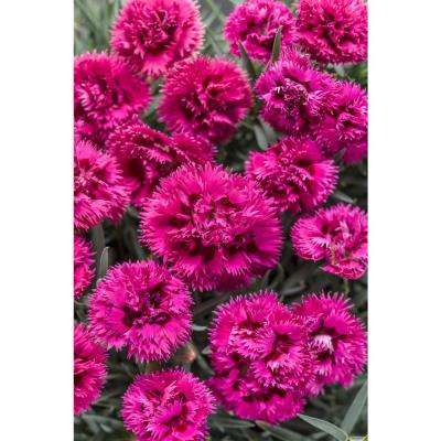 4.5 in. Qt. Spiked Punch Pinks (Dianthus) Live Plant, Pink Flowers