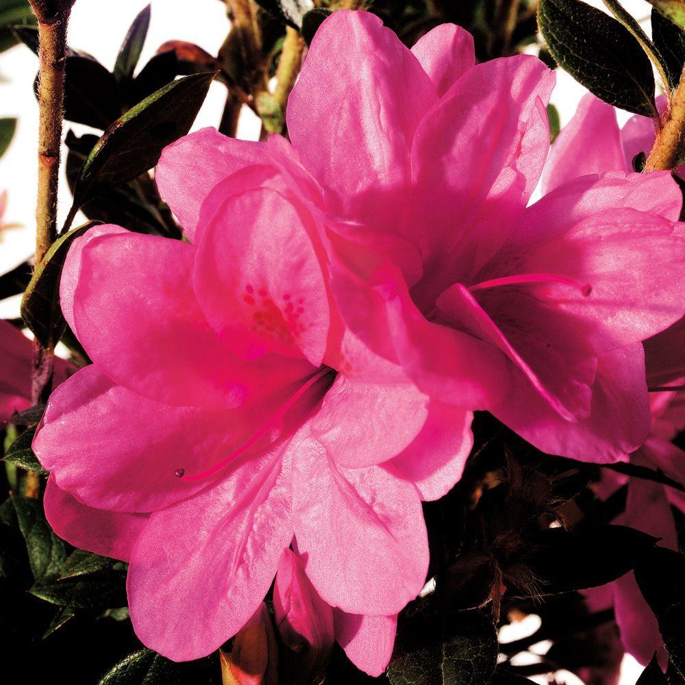 1 Gal. Autumn Empress Encore Azalea Shrub with Medium Pink Reblooming Flowers