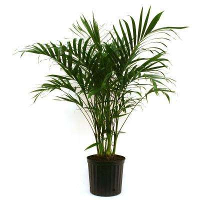 Cateracterum Palm In 9 25 Grower Pot