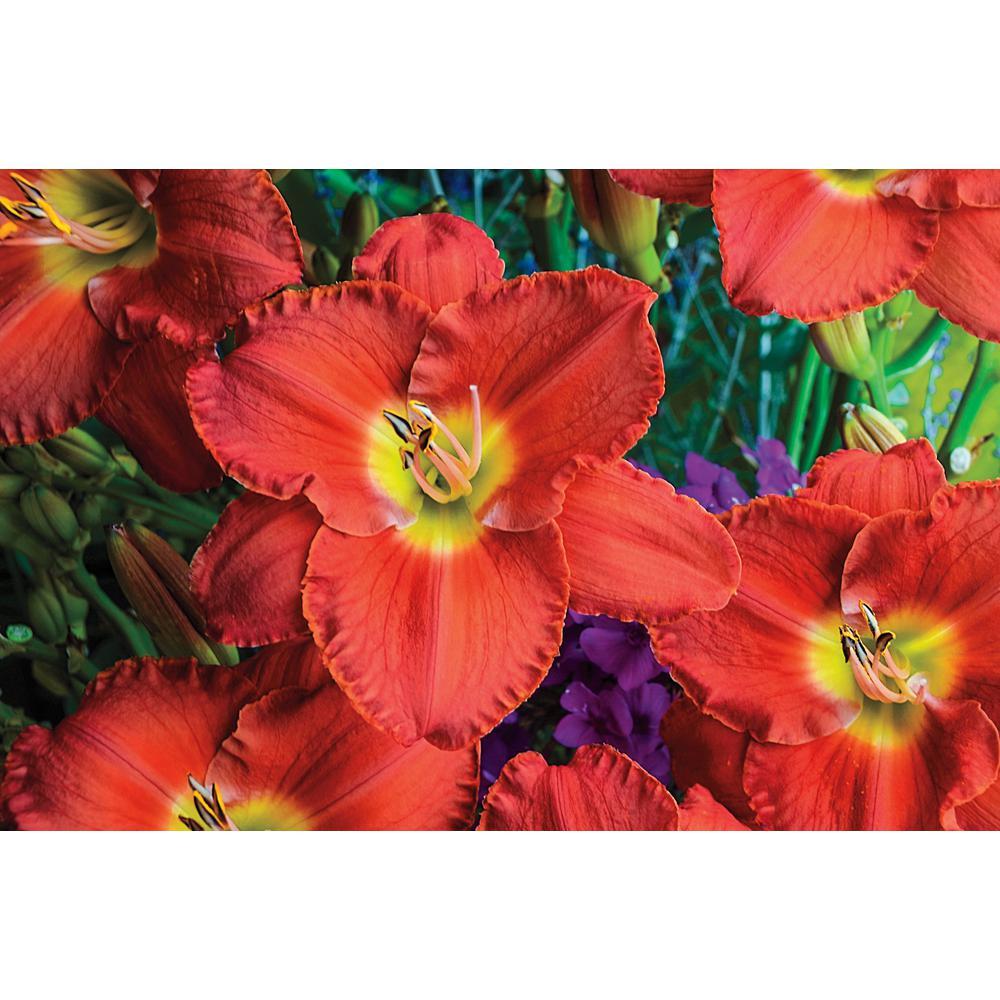 Scottish Fantasy Reblooming Daylily (Hemerocallis), Coral and Yellow Flowering Perennial Live Bareroot Plant (1-Pack)