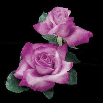 Angel Face Floribunda Rose, Live Bareroot Plant, Lavender Color Flowers (1-Pack)