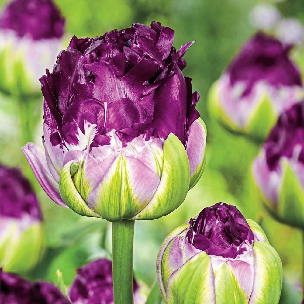 Blue Wow Double Peony Tulip Bulbs (25-Pack)